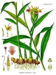 Ingwer ist eine Pflanzenart aus der Familie der Ingwergewächse (Zingiberaceae) und gehört zu den einkeimblättrigen Pflanzen. Der unterirdische Hauptspross des Ingwers wird als Küchengewürz oder Arzneidroge verwendet. | Bild gemeinfrei