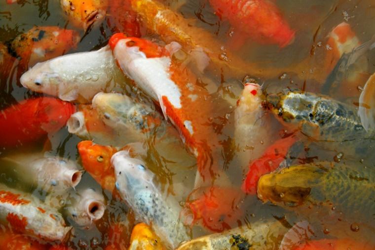 Momentaufnahme goldfische oder ein dicker fisch sein for Fische goldfische