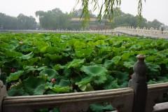 Lotos-Teich - auf dem Weg zur Weißen Pagode