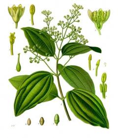 Zimtpflanze