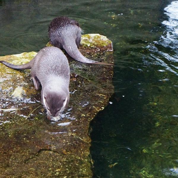 Ab in den Zoo: Zwergotter
