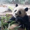 Mythos: Pandas sind Vegetarier