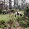 Große Pandas: Wildtier-Population wächst, ein Panda greift an