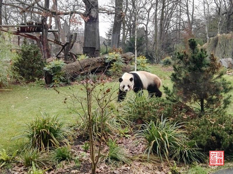 gro e pandas wildtier population w chst ein panda greift. Black Bedroom Furniture Sets. Home Design Ideas
